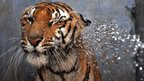 A Bengal tiger is hosed by a spray of water