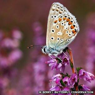 Common blue (c) Matt Berry/ Butterfly Conservation