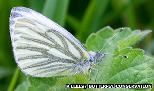 Green-veined white (c) Peter Eeles/ Butterfly Conservation
