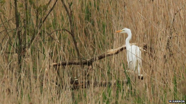 First photo of the great white egret chick