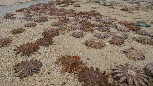 Crown-of-thorns starfish wash up in Japan