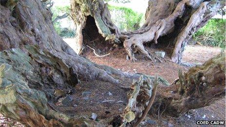 The Llangernyw Yew