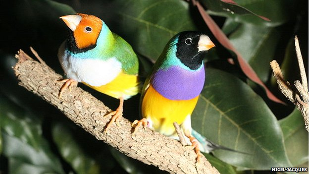 Yellow-headed and black-headed Gouldian finches