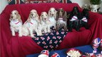 Cocker spaniels in patriotic clothing. Photo: Rachel Appleby
