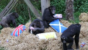 Chimps at Edinburgh Zoo enjoy jubilee treats