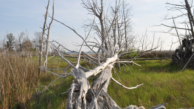 Dead trees on islands in York River