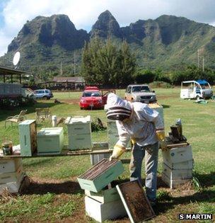 Beekeeper in Kauai, Hawaii (c) Stephen Martin