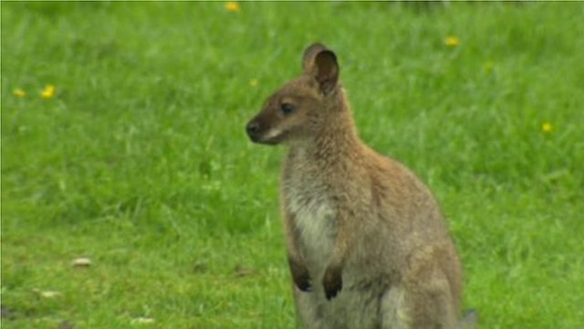 One of the wallabies which has been left behind at The Moy