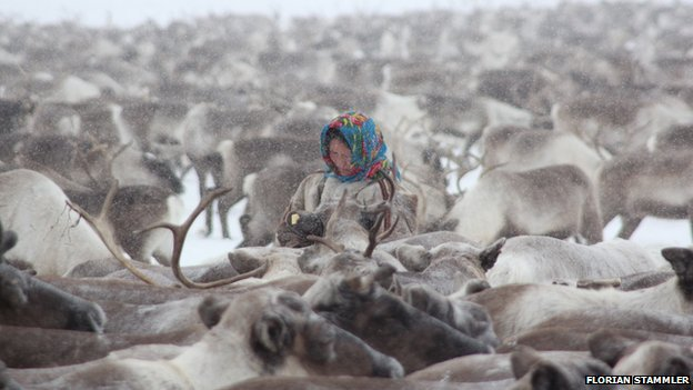 A Nenet woman among a herd of reindeer