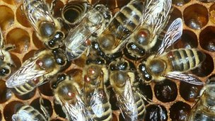 Honeybees with Varroa mite (c) Stephen Martin