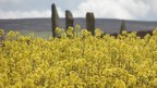 Mustard flowers with the Ring of Brodgar in the background