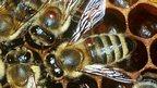 Honeybees with Varroa mite (c) Stephen Martin