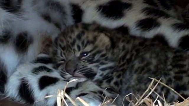 One of the two Amur leopard cubs born in Kent