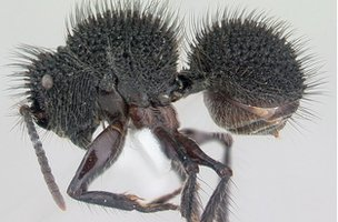 The tree-dwelling South-East Asian ant Echinopla melanarctos (Image: AntWeb)