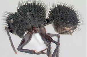 The tree-dwelling South-East Asian ant Echinopla melanarctos (Image: AntWeb)