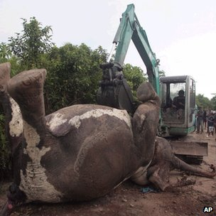 Dead elephant being towed by digger