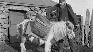 A Shetland pony carrying logs