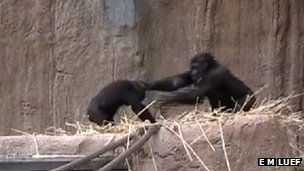 Western lowland gorillas (c) Eva Maria Luef