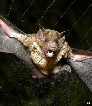 Common vampire bat caught in a net, Brazil (Image: AP)