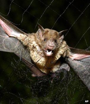 Common vampire bat caught in a net, Brazil (Image: AP)