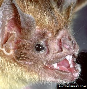 Common vampire bat (Image: Photolibrary.com)
