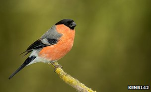 Perching bullfinch