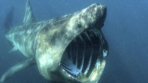 A basking shark's gaping mouth as it feeds