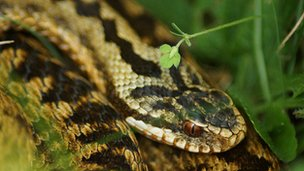 Adder from the BBC Springwatch Flickr group