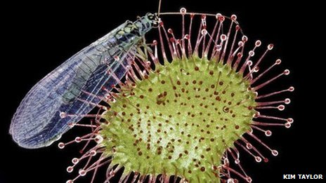 Common sundew catches lacewing