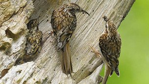 Two adult treecreepers feed one of their emerging chicks.