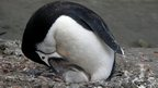 Chinstrap penguin feeding chick (c) Andres Barbosa