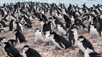 Chinstrap penguin colony in Antarctica (c) Andres Barbosa