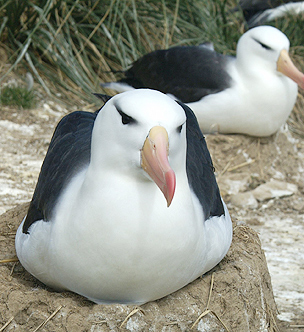 Albatross on the Falkland Islands