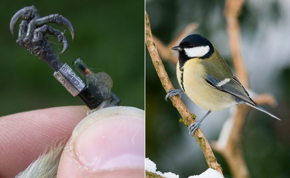 Close up of data logger fitted to a great tit's leg and a great tit (Parsus major) in the wild (c) University of Oxford