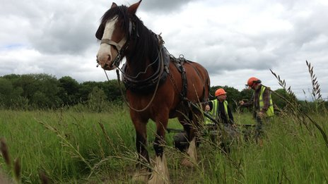 Shire horse working at Howsham Mill
