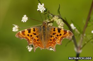 Comma butterfly