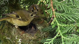 Goldcrest family