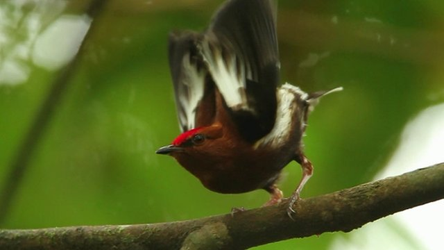 Club-winged manakin (c) Kimberly Bostwick 
