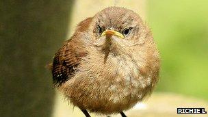 Wren chick