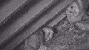 Owlets hiding