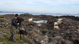 goats on the Isle of Mull