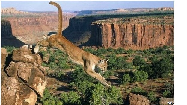 Cougars are moving east from their traditional western habitats