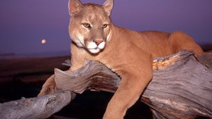 Cougar at rest