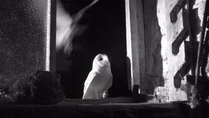 Both barn owl parents