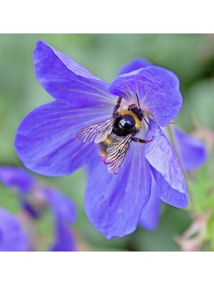 Flickr Jeff Derbys bumblebee photograph
