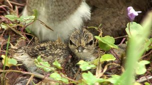 Sandpiper chick