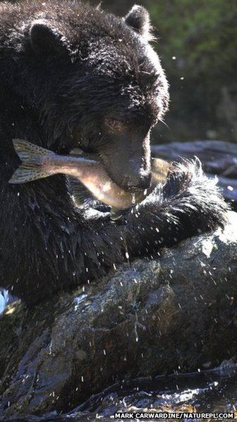 North American black bear fishing