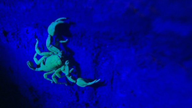 Yellow-tailed scorpion glowing under ultraviolet light on brick wall in London