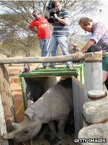 A rhino being released in Tanzania