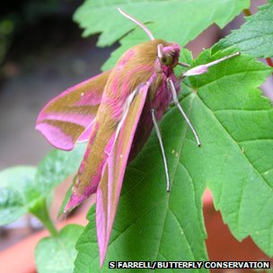 Elephant hawkmoth (c) Shane Farrell/ Butterfly Conservation